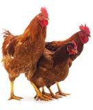 Краны и курица стоковые фото