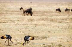 Краны увенчанные серым цветом, кратер Ngorongoro Стоковое Фото