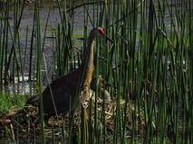 Краны Sandhill защищая гнездо стоковые изображения