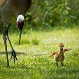 Краны Sandhill мамы и младенца Стоковое фото RF