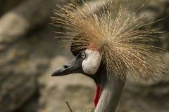 Кран кроны, regulorum Balearica Большая птица стоковое изображение rf
