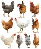 Кран курицы цыпленка петуха изолированный на белой предпосылке стоковые фотографии rf