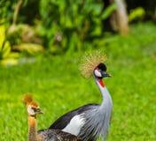 Кран увенчанный серым цветом в острове Индонезии Бали Стоковые Фотографии RF