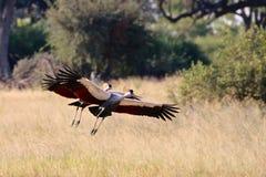 Кран увенчанный серым цветом Зимбабве, национальный парк Hwange Стоковые Изображения