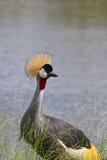 Кран увенчанный серым цветом Зимбабве, национальный парк Hwange Стоковые Фотографии RF