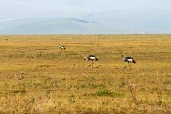 Кран увенчанный серым цветом (regulorum Balearica) угрожал птиц Стоковая Фотография