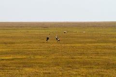 Кран увенчанный серым цветом (regulorum Balearica) угрожал птиц Стоковые Изображения