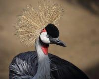 Кран увенчанный серым цветом (regulorum Balearica) Стоковые Изображения RF