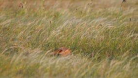 Кран фазана идет в высокорослую траву в луге Весна, colchicus фазана акции видеоматериалы