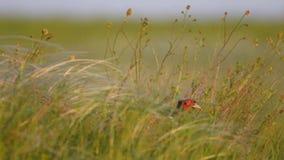 Кран фазана идет в высокорослую траву в луге Весна, colchicus фазана сток-видео