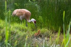 Кран Sandhill и цыпленок младенца Стоковое Изображение
