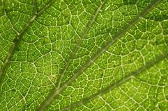 крапива листьев детали стоковое изображение