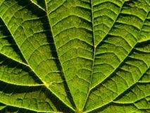 крапива листьев Стоковые Фото