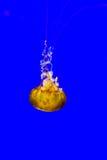 Крапива моря Стоковая Фотография