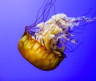 Крапива моря Стоковое Изображение