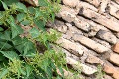 крапива над стеной Стоковая Фотография