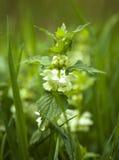 крапива цветка Стоковые Изображения RF