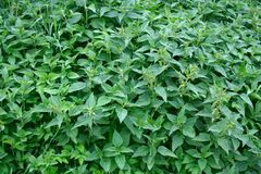 крапива bush стоковое фото rf