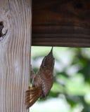Крапивниковые Каролины стоковая фотография rf
