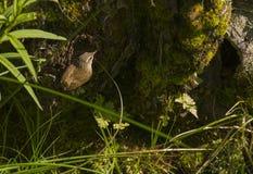 Крапивниковые на гнезде Стоковые Фото