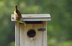 Крапивниковые дома с едой для птенецов Стоковые Фото