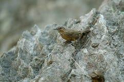 Крапивниковые-пустозвон известняка, Rufous Известняк-пустозвон Стоковые Изображения