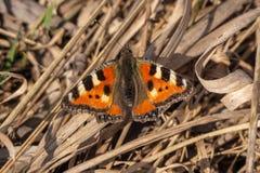 Крапивница бабочки стоковая фотография rf