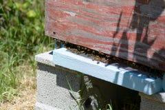 Крапивница пчелы в саде Стоковое Изображение RF