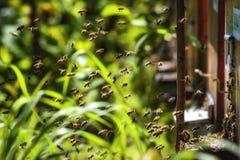 Крапивницы в пасеке при пчелы летая к посадке всходят на борт в g Стоковая Фотография