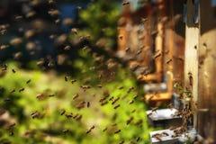 Крапивницы в пасеке при пчелы летая к посадке всходят на борт в g Стоковые Фотографии RF