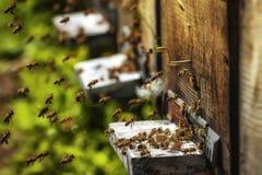Крапивницы в пасеке при пчелы летая к посадке всходят на борт в g Стоковая Фотография RF