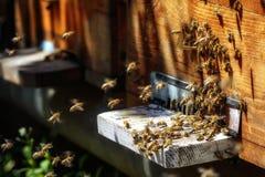 Крапивницы в пасеке при пчелы летая к посадке всходят на борт в g Стоковые Изображения RF