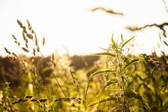Крапивы завода в поле подсвеченном против захода солнца Стоковая Фотография