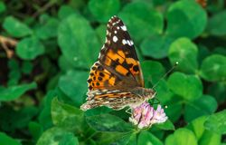 Красавиц-дама на цветке клевера стоковая фотография rf