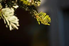 Красивая абстрактная предпосылка природы с ветвью ели Стоковая Фотография