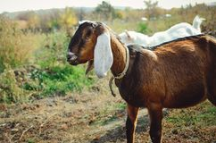 Красивая англо-Nubian коза с большими белыми ушами стоковые изображения rf