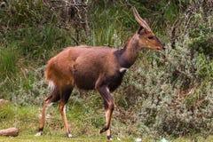 Красивая антилопа bushbuck темного коричневого цвета Парк Aberdare, Кения стоковая фотография