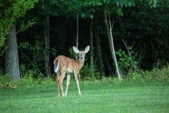 Красивая лань оленей младенца в лесе Стоковая Фотография RF