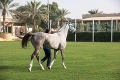 Красивая арабская лошадь получая готовый для гонок на выносливость стоковая фотография rf
