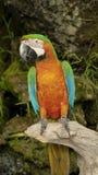Красивая ара в зоопарке Стоковое Изображение RF