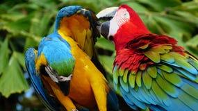 Красивая ара в зоопарке Стоковые Фотографии RF