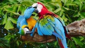 Красивая ара в зоопарке Стоковые Изображения RF