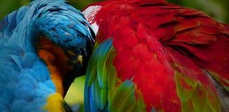 Красивая ара в зоопарке Стоковые Фото