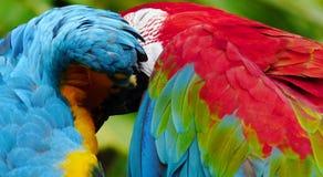 Красивая ара в зоопарке Стоковое Изображение