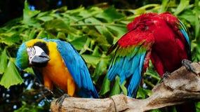 Красивая ара в зоопарке Стоковая Фотография RF