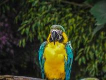 Красивая ара джунглей Таиланда Стоковые Фото