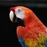 Красивая ара шарлаха птицы Стоковые Изображения RF