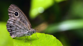 Красивая бабочка, восточные similis Ypthima 5-кольца Стоковое Изображение