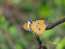 Красивая бабочка всасывая на сладостных и кислых цветках и солнечности, расплывчатой предпосылке и космосе для текста или символе Стоковое Изображение RF