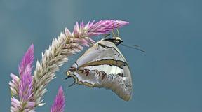 Красивая бабочка, голубое Nawab, schreiber Polyura Стоковое фото RF